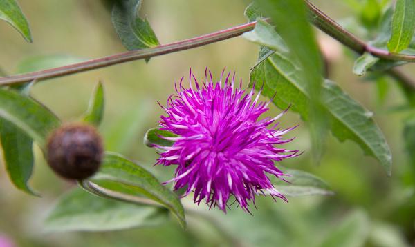 Fleur de grande centaurée