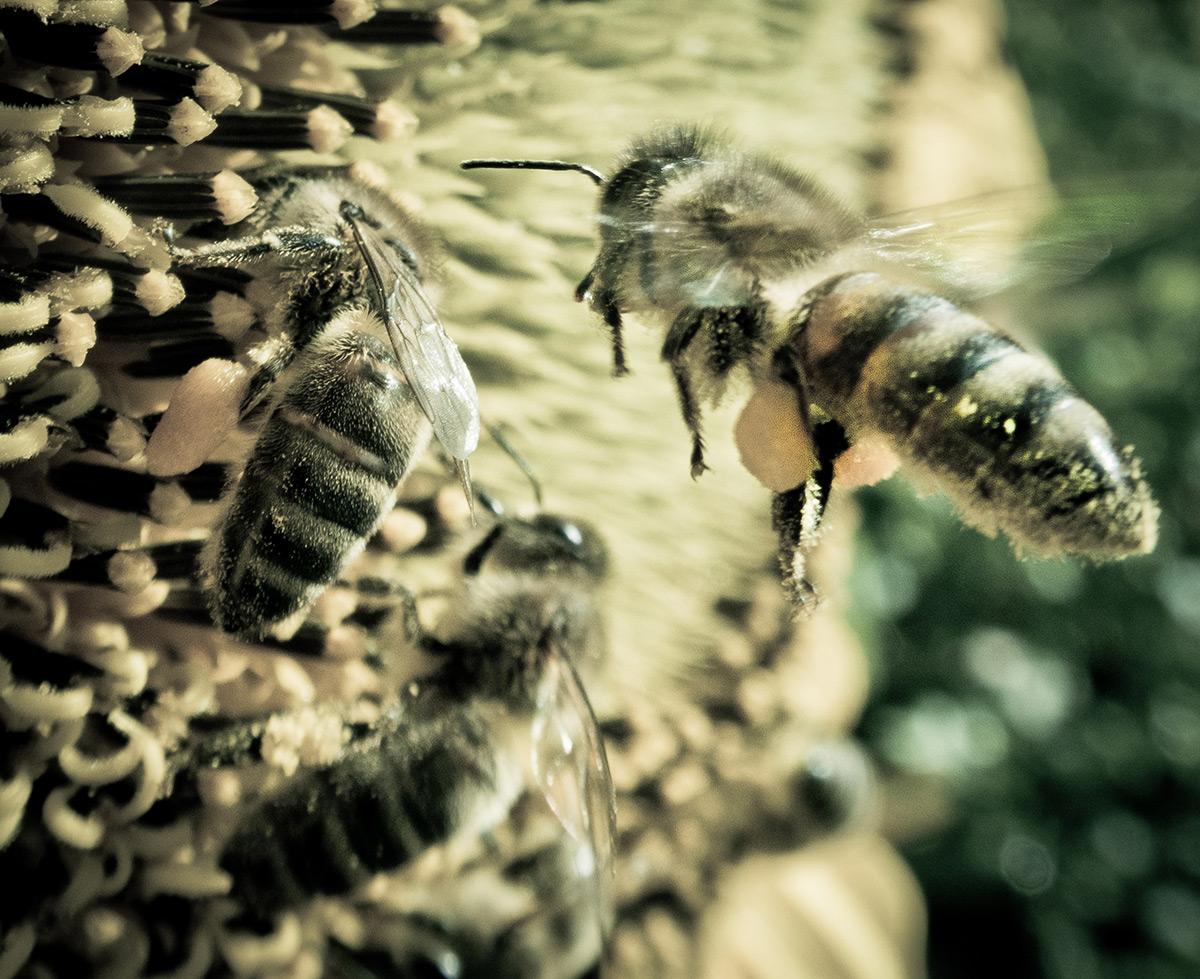 comprendre la disparition des abeilles le jardin vivant. Black Bedroom Furniture Sets. Home Design Ideas