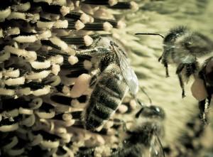 abeilles-nepoux-Gp-4