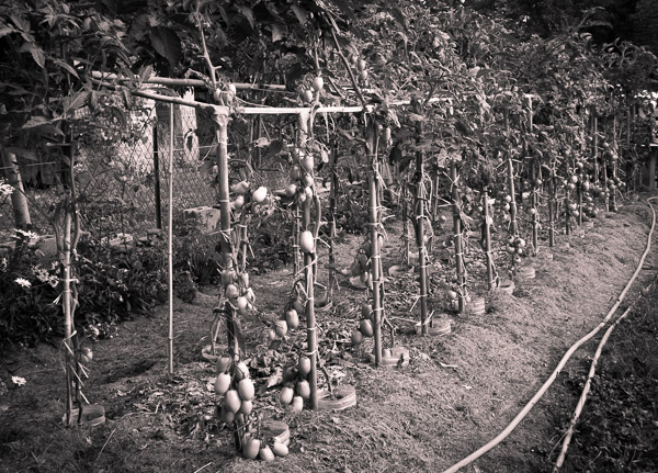 un autre regard sur la taille des tomates le jardin vivant. Black Bedroom Furniture Sets. Home Design Ideas