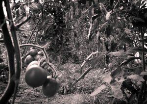 tomate-taillée-5