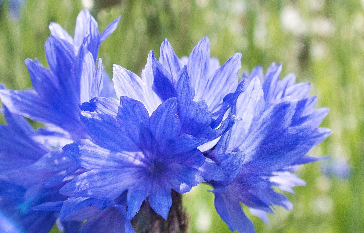 Le bleuet une histoire de bleu le jardin vivant for Jardin vivant