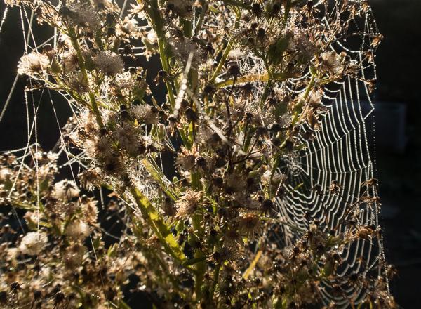 L 39 araign e une esp ce prot ger le jardin vivant - Araignee des jardins en 6 lettres ...