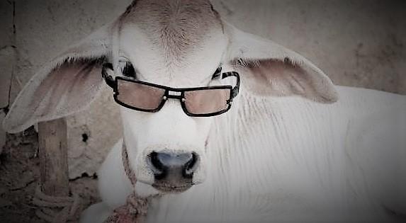 Méthaniseur géant : 2500 têtes de bétail pour produire de l'électricité !