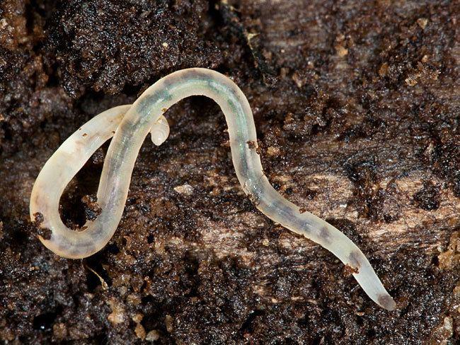 Qui connaît ce cousin germain du ver de terre ?