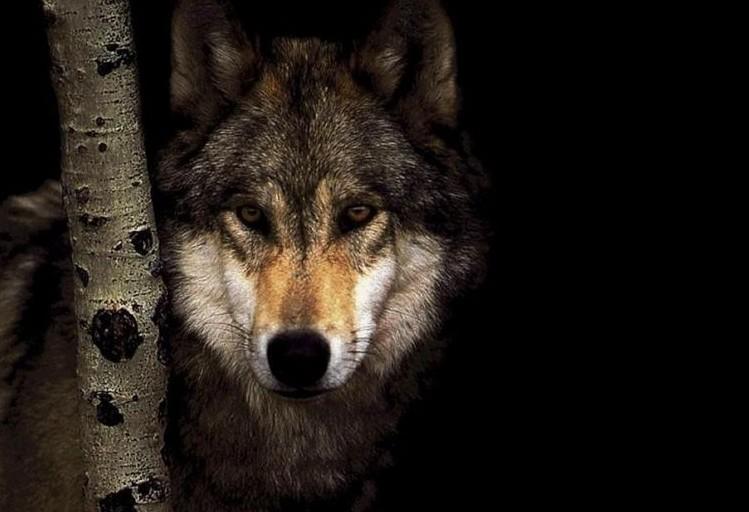 Pourquoi les loups massacrent les brebis ?