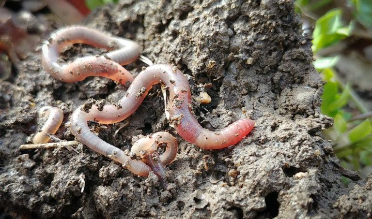 Augmentez vos récoltes grâce aux vers de terre