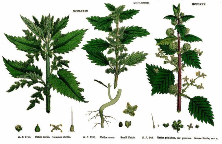 Les usages de l'ortie au 19-ième siècle
