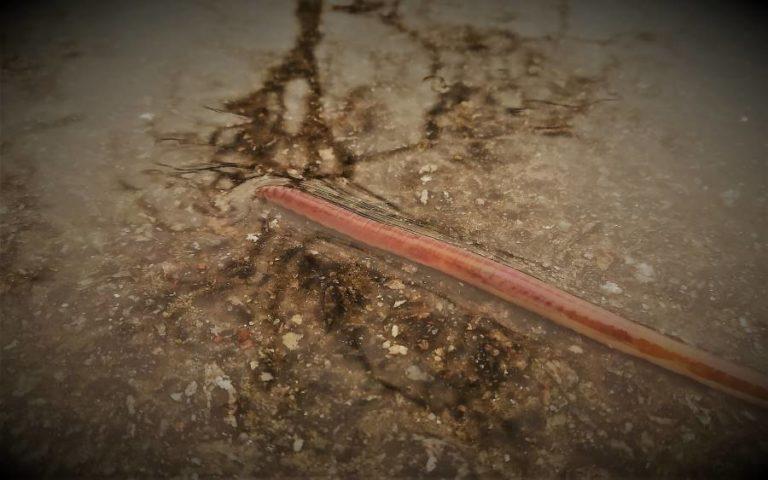 Pourquoi trouve-t-on des vers de terre sur les routes ?