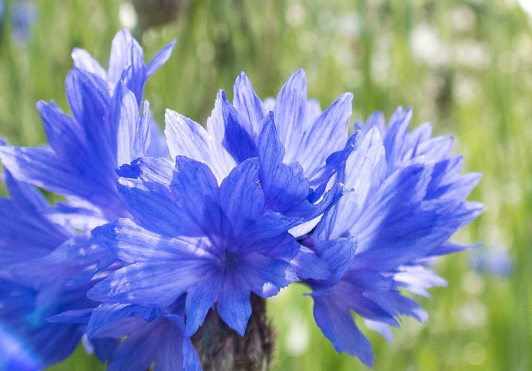 Le bleuet, une histoire de bleu !