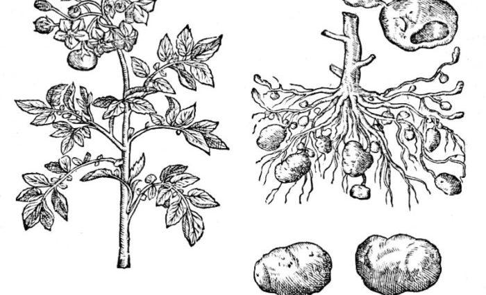 archives des pomme de terre le jardin vivant. Black Bedroom Furniture Sets. Home Design Ideas