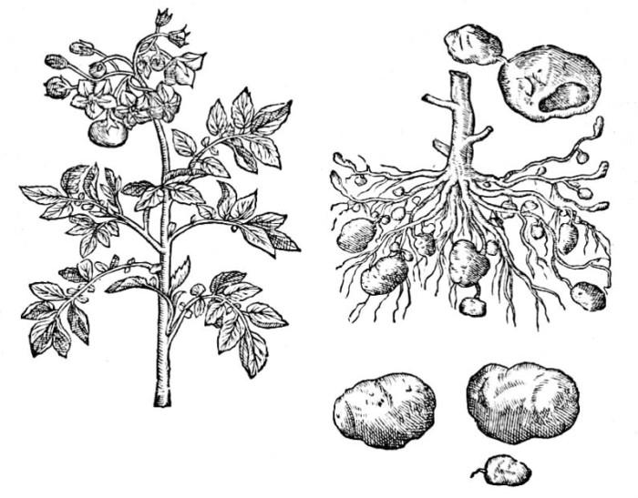 conserver ses pommes de terre o et comment le jardin vivant. Black Bedroom Furniture Sets. Home Design Ideas