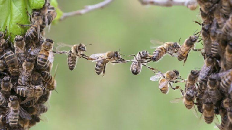 Le glyphosate agit sur les abeilles comme l'alcool au volant. Et pas seulement !