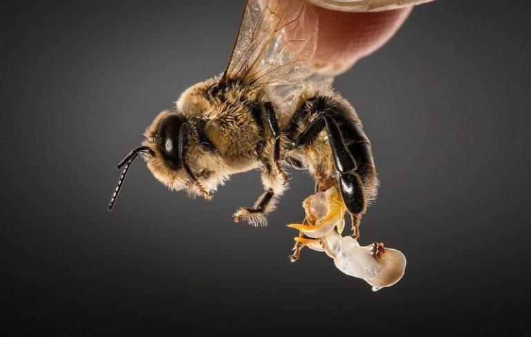 Trucs & astuces : comment faire éjaculer le mâle de l'abeille ?